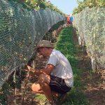 vinohrad - prevencia proti škorcom