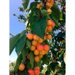 vinohrad - ovocné sady